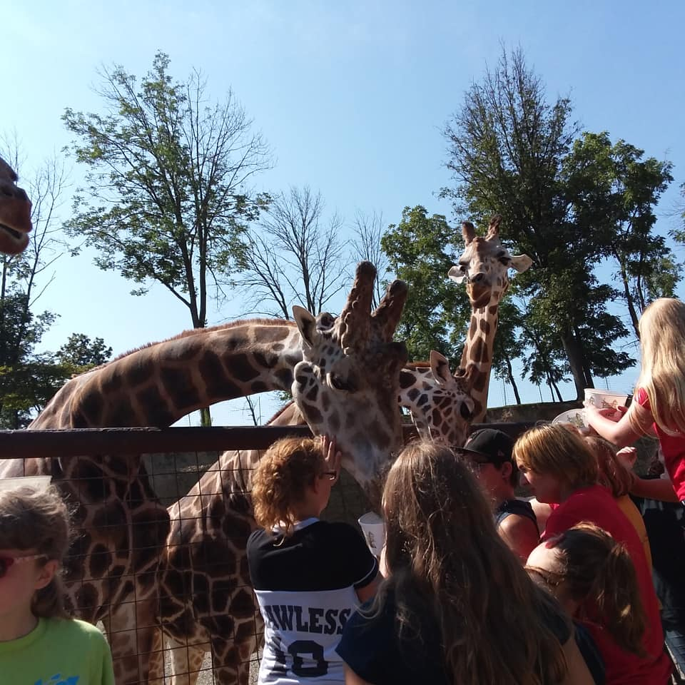 kids petting and feeding giraffes behind a fence