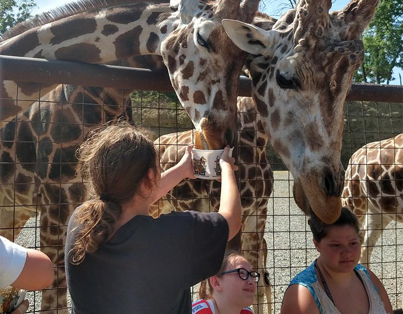 A girl feeding giraffes